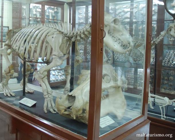 hipopotamo maltes - cueva ghar dalam