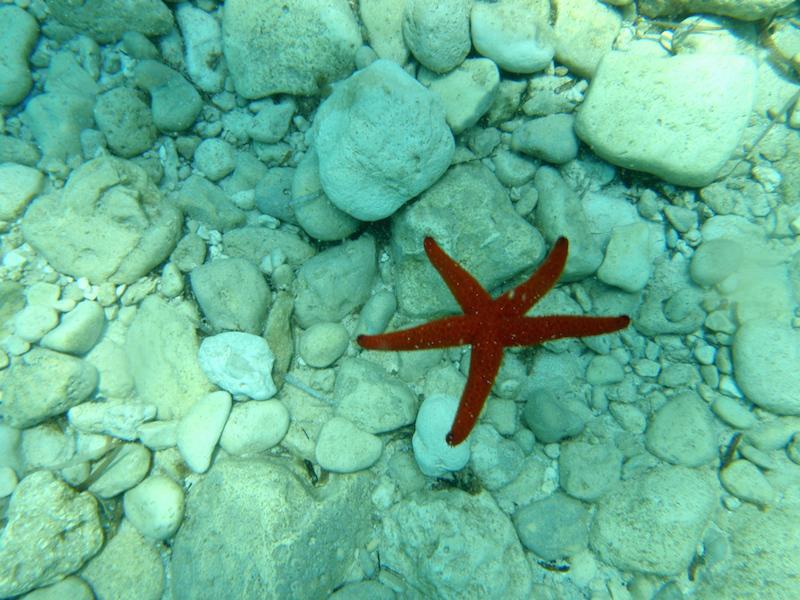 Estrella de Mar en cala de Hagar Qim en Malta
